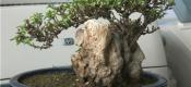 六月雪盆栽要怎样养护?