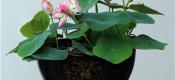 盆栽荷花的养殖方法