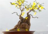 迎春花种植技术