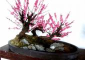 梅花盆景的养护