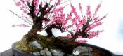 盆栽梅花的养殖方法