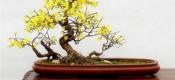 迎春花盆景造型