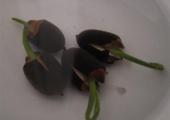 睡莲种子的种植方法