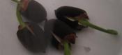 睡莲的繁殖方法
