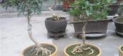 盆栽桂花怎么养