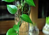 养绿萝总叶子发黄?不妨这样养,不用管还能常年绿油油