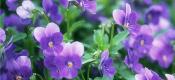 紫罗兰有多少种