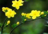 迎春花和连翘的区别
