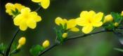迎春花栽培