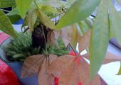 冬天发财树原来要这样养,难怪我养的总是叶子发黄掉叶子