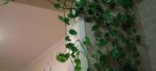你认为家里最适合养什么花?绿萝、吊兰、发财树?还是君子兰?