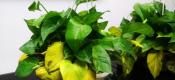 老园丁总结的花卉叶子发黄的四大原因和解决办法,太管用了!