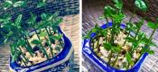 把吃剩的柚子籽盆栽起来真漂亮,以后是不是有吃不完的柚子啦