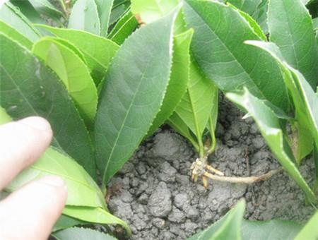 桂花树换盆与修根