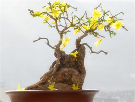 盆栽迎春花方法
