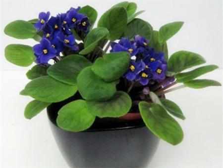 盆栽紫罗兰