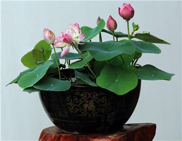 盆栽荷花的養殖方法