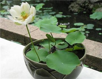 睡蓮的種植方法