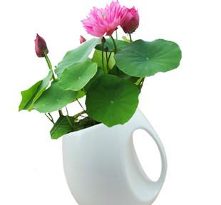 盆栽睡莲的养殖方法
